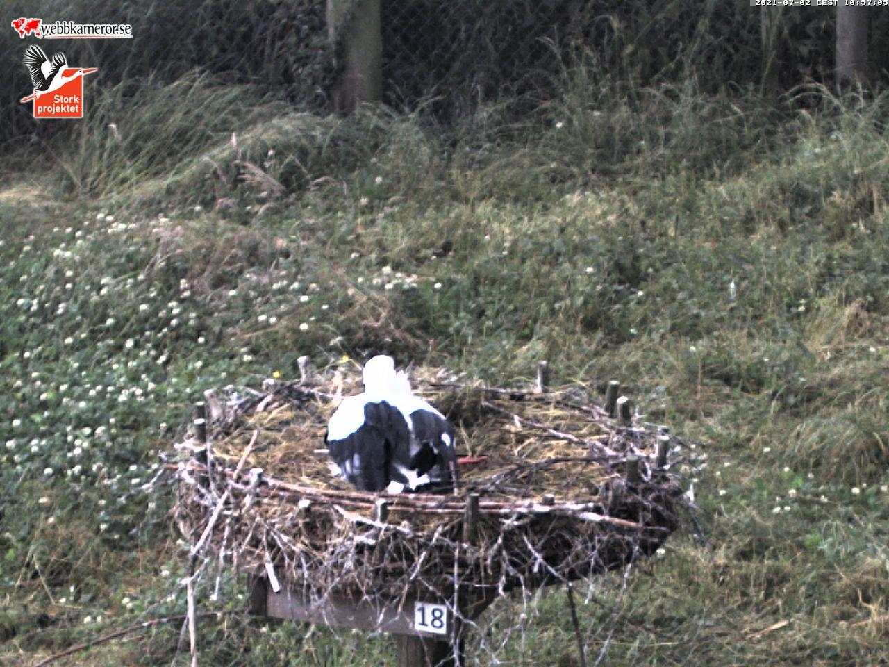 Webbkamera hos storkar i Fulltofta